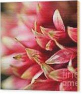 Gaillardia Pulchella Named Sundance Bicolor Wood Print