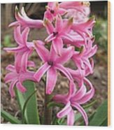 Hyacinth Named Pink Pearl Wood Print