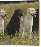 Labrador Retriever Dogs Wood Print