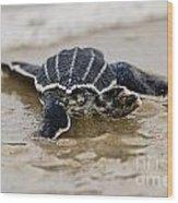 Leatherback Sea Turtle Hatchling Amelia Island Florida Wood Print