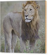 Male Lion Wood Print