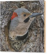Northern Flicker In Nest Cavity Alaska Wood Print