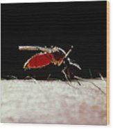 Northern House Mosquito Wood Print