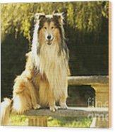 Rough Collie Dog Wood Print