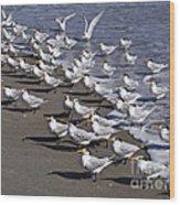 Royal Terns On The Beach At Indialantic In Florida Wood Print