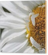 Shasta Daisy Named Paladin Wood Print