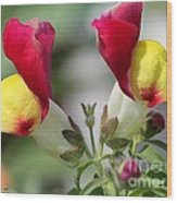 Snapdragon Named Floral Showers Red And Yellow Bicolour Wood Print