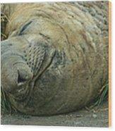 Southern Elephant Seal Wood Print