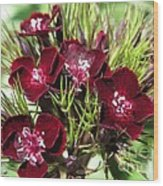 Sweet William Named Sooty Wood Print
