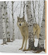 Timber Wolf Canis Lupus Wood Print