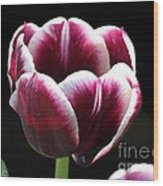 Triumph Tulip Named Jackpot Wood Print by J McCombie