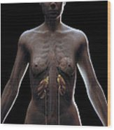 Urinary System Female Wood Print