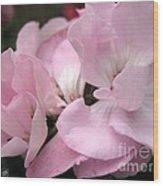 Zonal Geranium Named Tango Light Orchid Wood Print
