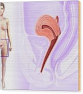 Female Reproductive System Wood Print