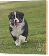 Australian Shepherd Puppy Wood Print