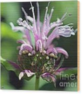 Bee Balm From The Panorama Mix Wood Print