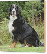 Bernese Mountain Dog Wood Print
