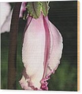 Cyclamen Named Victoria Wood Print