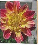 Dahlia Named Brian's Sun Wood Print