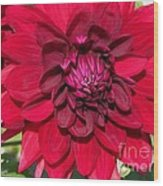 Dahlia Named Nuit D'ete Wood Print