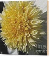 Dahlia Named Platinum Blonde Wood Print