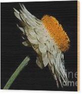 Daisy Flower Wood Print