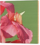 Dwarf Canna Lily Named Shining Pink Wood Print by J McCombie