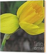Dwarf Cyclamineus Daffodil Named Jet Fire Wood Print