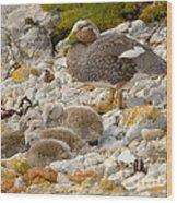 Falkland Steamerduck Wood Print