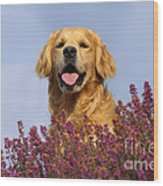 Golden Retriever Dog Wood Print