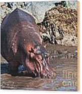 Hippopotamus In River. Serengeti. Tanzania Wood Print