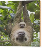 Hoffmanns Two-toed Sloth And Old Baby Wood Print