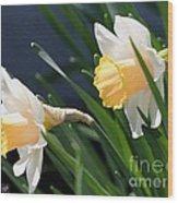 Large-cupped Daffodil Named Mrs. R.o. Backhouse Wood Print