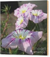 Morning Glory Named Pink Ensign Wood Print