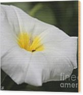 Morning Glory Named White Ensign Wood Print