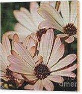 Osteospermum Named Sunadora Palermo Wood Print