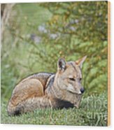 Patagonian Red Fox Wood Print
