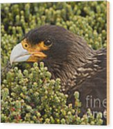 Striated Caracara Wood Print
