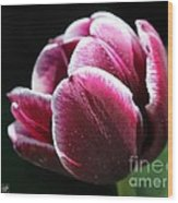 Triumph Tulip Named Jackpot Wood Print by J McCombie
