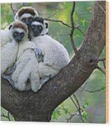 Verreauxs Sifakas Cuddling Wood Print