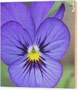 Viola Named Sorbet Blue Heaven Jump-up Wood Print