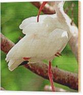 White Ibis Eudocimus Albus Wood Print