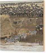 Wildebeests Crossing Mara River, Kenya Wood Print