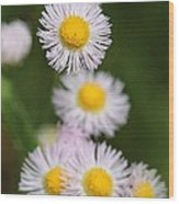 Wildflower Named Robin's Plantain Wood Print