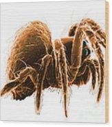 Wolf Spider Wood Print