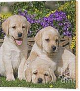 Yellow Labrador Puppies Wood Print