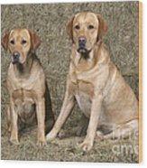 Yellow Labrador Retrievers Wood Print
