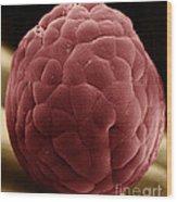 Zebra Fish Egg Wood Print
