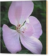 Zonal Geranium Named Tango Light Orchid Wood Print