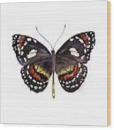 50 Elzunia Bonplandii Butterfly Wood Print